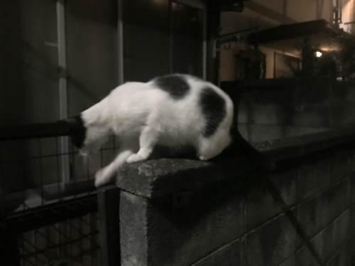 夜中にうろつくネコ