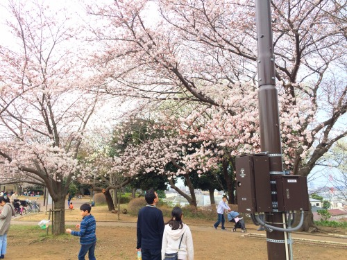 夢見ヶ崎動物公園の桜、花見風景